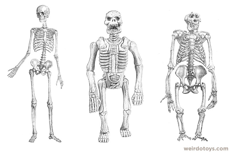 gorilla skeleton vs. human skeleton, Skeleton